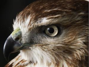 Falcon Gold